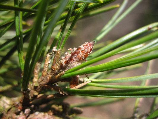 Rot-Föhre (Pinus sylvestris) | Knospe