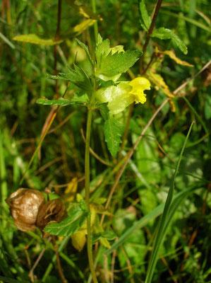 Kleiner Klappertopf (Rhinanthus minor)