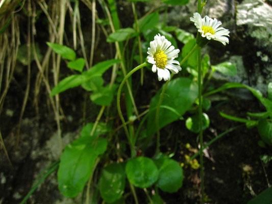 Sternlieb (Bellidiastrum michelii)