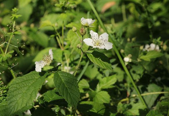 Reif-Brombeere (Rubus caesius)