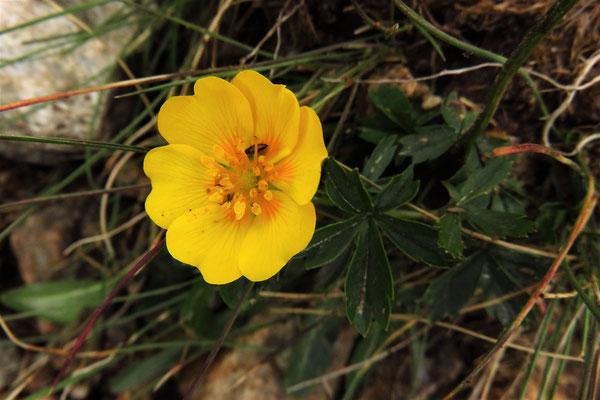 Gold-Fingerkraut (Potentilla aurea) | Fam. Rosengewächse (Rosaceae)