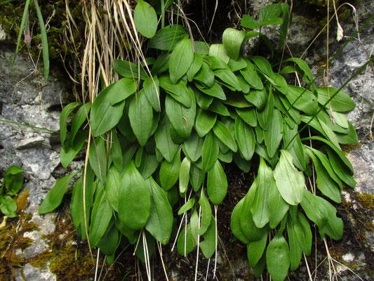 Felsen-Baldrian (Valeriana saxatilis)