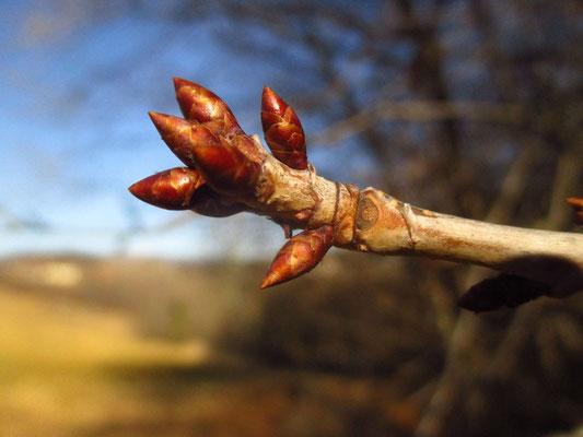 Vogel-Kirsche (Prunus avium)