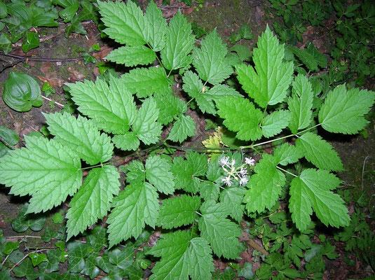 Echtes Christophskraut (Actaea spicata)