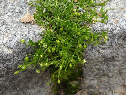 Liege-Mastkraut (Sagina procumbens)