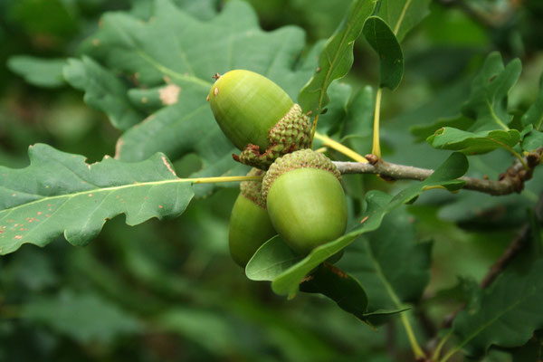 Trauben-Eiche (Quercus petraea)   Früchte