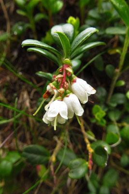 Preiselbeere (Vaccinium vitis-idaea) | Fam. Heidegewächse (Ericaceae)
