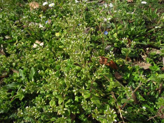 Knäuel-Hornkraut (Cerastium glomeratum)