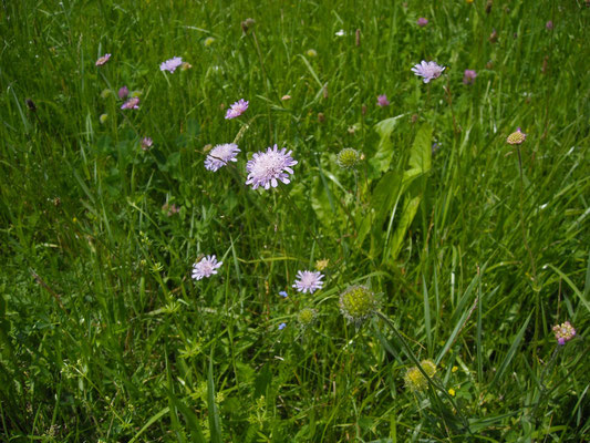 Wiesen-Witwenblume (Knautia arvensis)