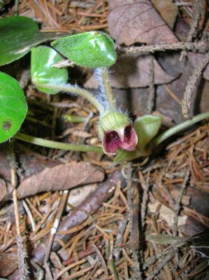 Gewöhnliche Haselwurz (Asarum europaeum)
