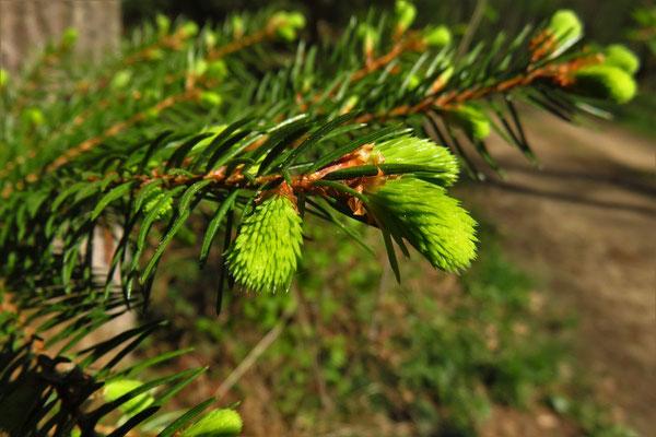 Gewöhnliche Fichte (Picea abies)