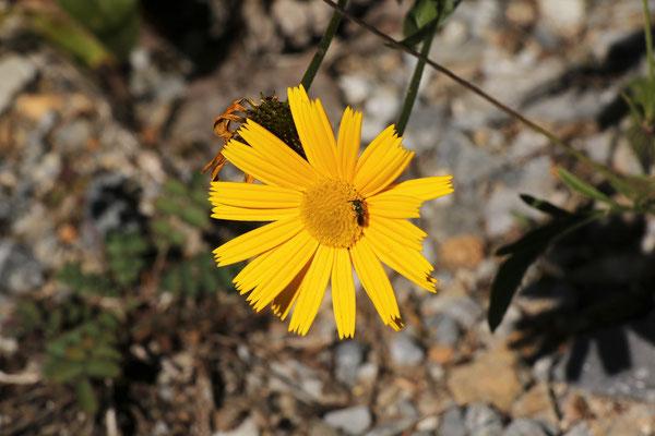Rindsauge (Buphtalmum salicifolium) | Fam. Korbblütler