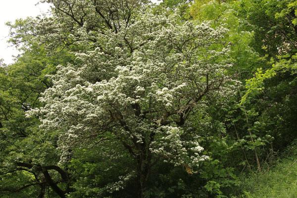 Eingriffel-Weißdorn (Crataegus monogyna)