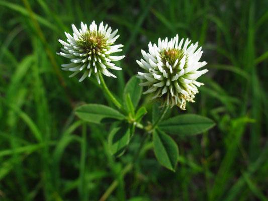Berg-Klee (Trifolium montanum)