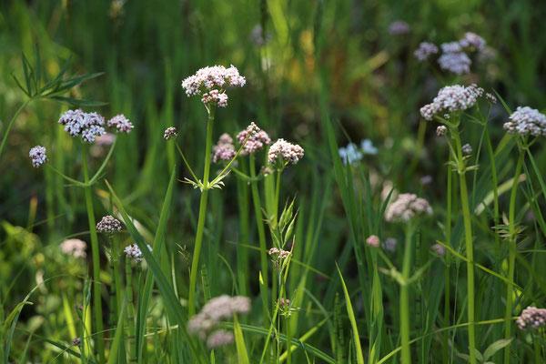 Sumpf-Baldrian (Valeriana dioica | syn. Kleiner Baldrian)