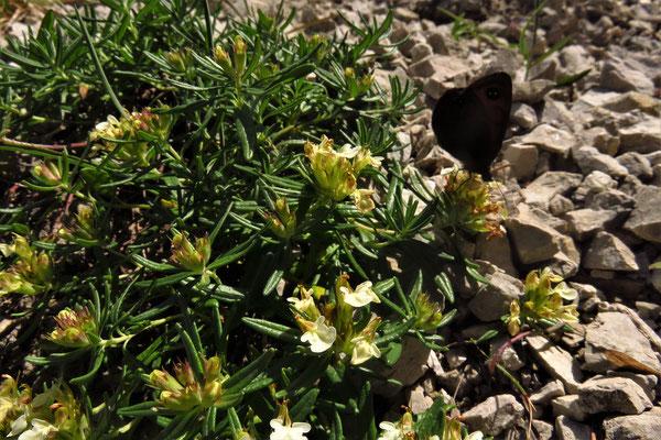 Berg-Gamander (Teucrium montanum)