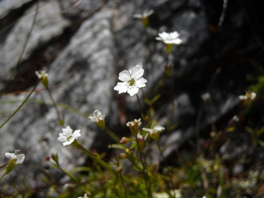 Kleiner Strahlensame (Heliosperma pusillum s.lat.)
