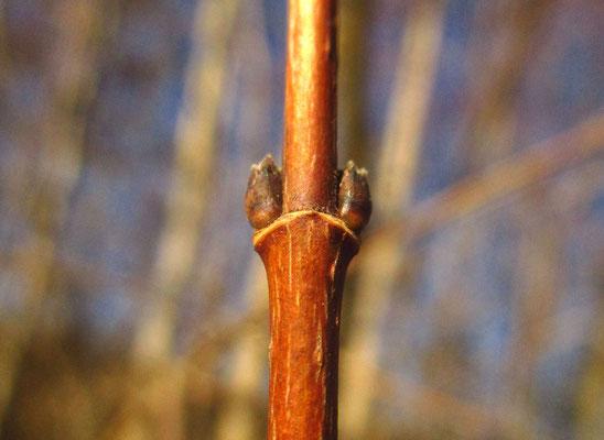 Feld-Ahorn (Acer campestre) | Knospe