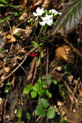 Kleeblatt-Schaumkraut (Cardamine trifolia)