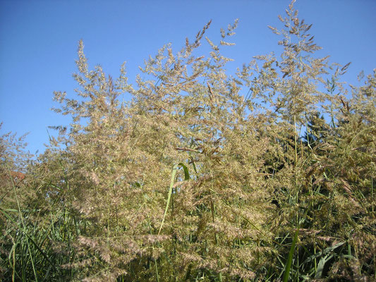 Schilf-Reitgras (Calamagrostis epigejos)