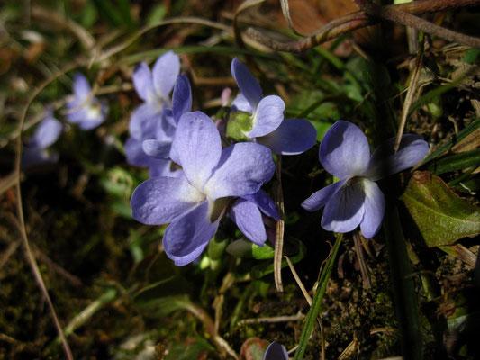 Wiesen-Veilchen (Viola hirta)