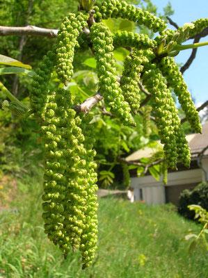 Echte Walnuss (Juglans regia)   männliche Blüten