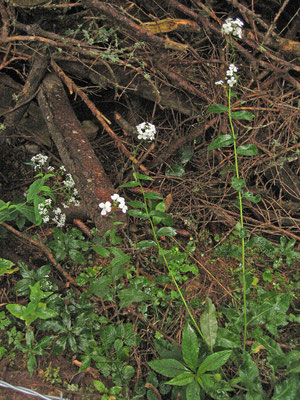 Matronen-Nachtviole (Hesperis matronalis subsp. candida)