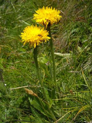 Einkorb-Ferkelkraut (Hypochaeris uniflora)