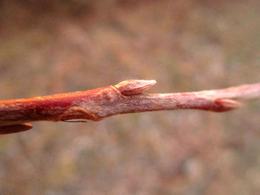Silber-Weide (Salix alba)   Knospe