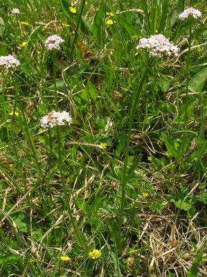 Sumpf-Baldrian (Valeriana dioica)