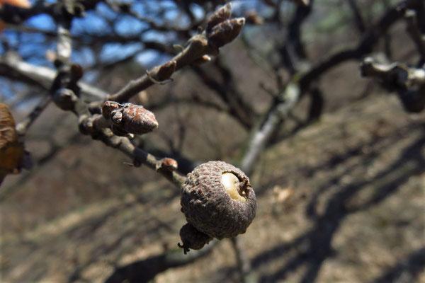 Flaum-Eiche (Quercus pubescens)   unreife Frucht