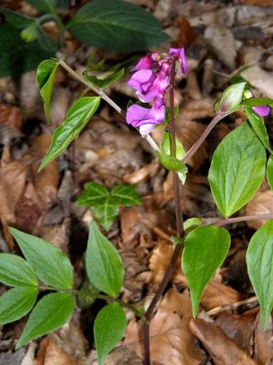 Frühlings-Platterbse (Lathyrus vernus)