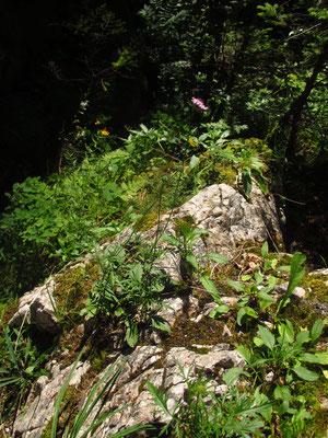 Glanz-Skabiose (Scabiosa lucida)