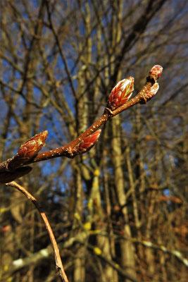 Gewöhnliche Hainbuche (Carpinus betulus)