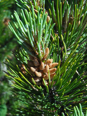 Leg-Föhre (Pinus mugo) | männliche Blüten