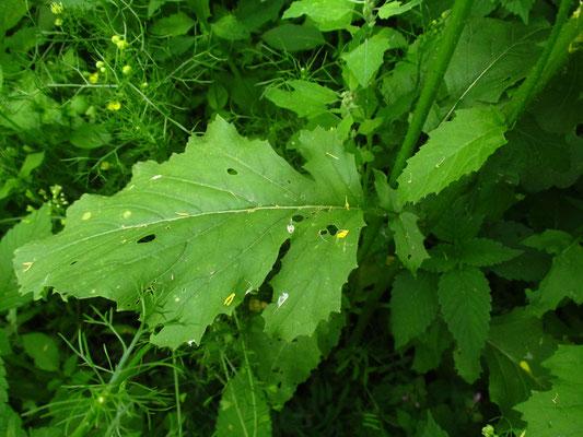 Acker-Senf (Sinapis arvensis)