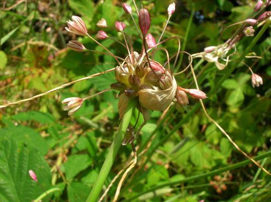 Glocken-Lauch (Allium oleraceum)