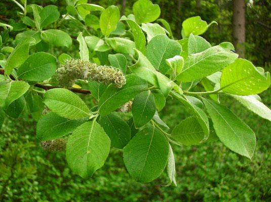 Sal-Weide (Salix caprea)   weibliche Pflanze