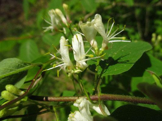 Gewöhnliche Heckenkirsche (Lonicera xylosteum)