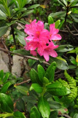 Rost-Alpenrose (Rhododendron ferrugineum) | Fam. Heidegewächse (Ericaceae)