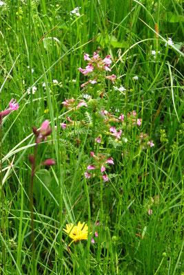 Sumpf-Läusekraut (Pedicularis palustris)