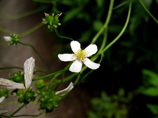 Platanen-Hahnefuß (Ranunculus platanifolius)