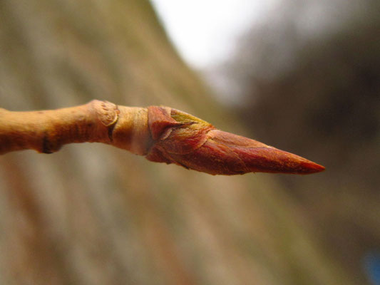 Schwarz-Pappel (Populus nigra)   Knospe