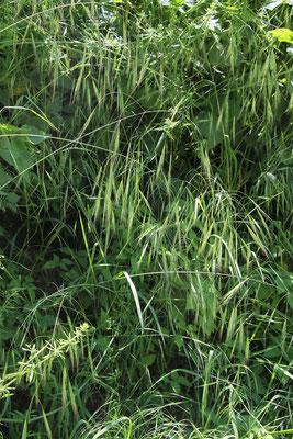 Ruderal-Trespe (Bromus sterilis)