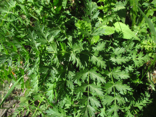 Heilwurz (Seseli libanotis)