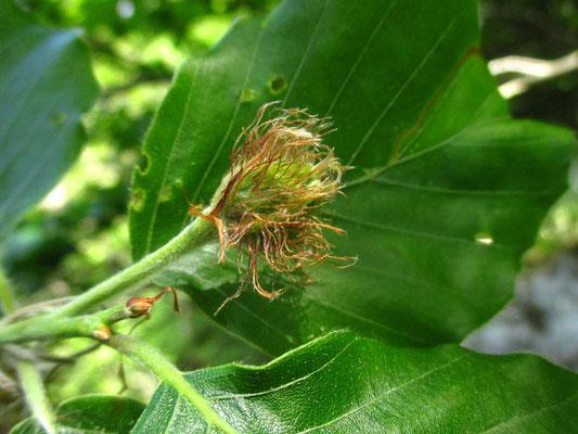 Rot-Buche (Fagus sylvatica) | weibliche Blüte