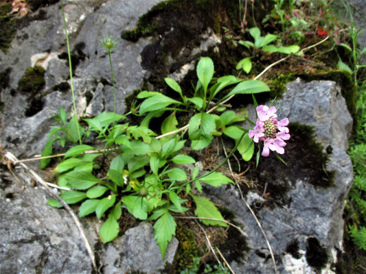 Glanz-Skabiose (Scabiosa lucida) | Fam. Kardengewächse (Dipsacaceae)