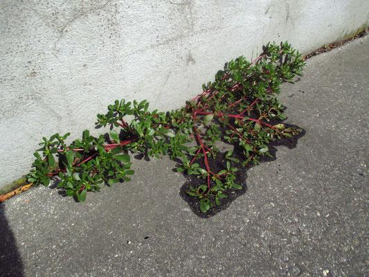 Gemüse-Portulak (Portulaca oleracea)