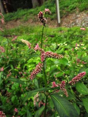 Floh-Knöterich (Persicaria maculosa)