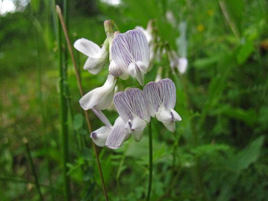Wald-Wicke (Vicia sylvatica)